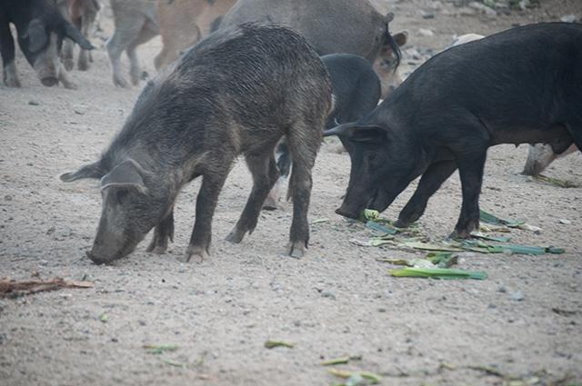 Dzikie świnie na Korsyce